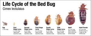 How to get rid og Bed Bugs
