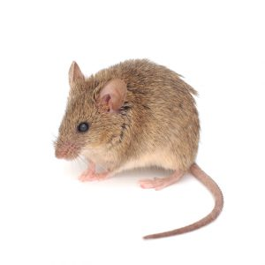 Pretoria Pest Control treat Mice with no mess and no fuss, prepare for Rats and Mice this summer.