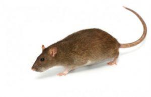 Rat Control Pretoria identify different species of Rats and treat them accordingly.