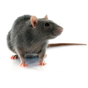 Rat Control Pretoria are masters in rat and rodent eradication. A service by Pretoria Pest Control, prepare for Rats and Mice this summer.