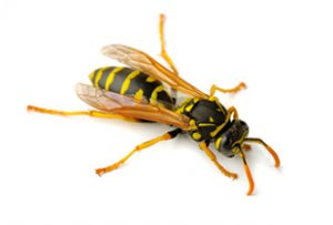Common Yellow Jacket Wasp Control Orchards.