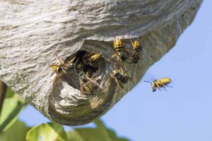 Closed paper cacoon nests indicate German Paper Wasps in Orchards