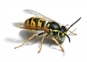 German Paper Wasp Control Silverton by your local experts. Pretoria Pest Control can eradicate any level of Wasp Infestation.