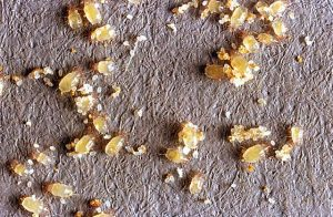 Granary Mites can easily be exterminated by Stored Product Pest Control Zwavelpoort teams of experts.