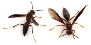 Indigenous Wasp Control Pretoria North East by your local stinging Insect control specialists