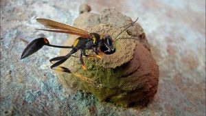 Mud Wasp nest Removal in Pretoria North East by Pretoria Pest Control