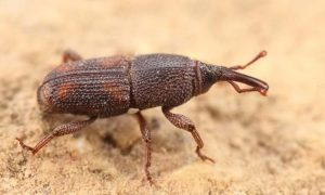 Rice Weevil Extermination is an easy feat for the experts at Stored Product Pest Control Pretoria