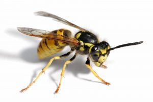 Flying Insect Control Pretoria are masters at Wasp Removal