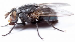 BLow Findicate rotten flesh, Fly Control Pretoria are the Flying Insect speciealists. Pretoria Pest Control for free quotations.