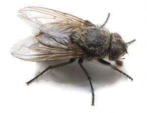 CLuster Flies Plague Pretoria, call Fly Control Pretoria for a free quote