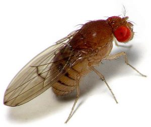Fruit Flies in your Bar or Home, call Fly Control Pretoria. Pretoria Pest Control for any and all Insect Pests