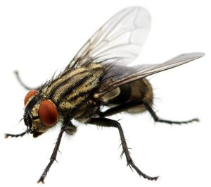 Let Fly Control Pretoria take care of house Flies for you. Speciealist pest management by Pretoria Pest Control