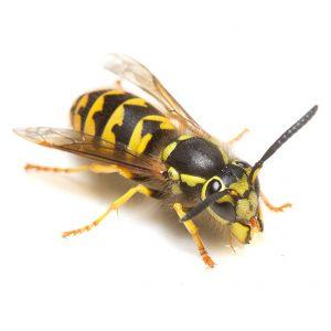 Wasp Control Pretoria is just another expert service by Pretoria Pest Control.