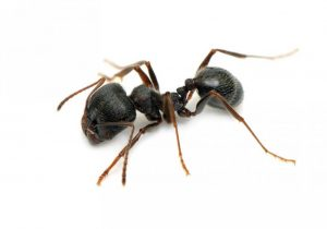 Black Garden Ant Control Pretoria is available for any and all Ant Infestations. Pretoria Pest Control are top of our game.