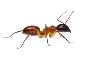 Sugar Ant Control Pretoria is yet another quality guaranteed service offered by Pretoria Pest Control
