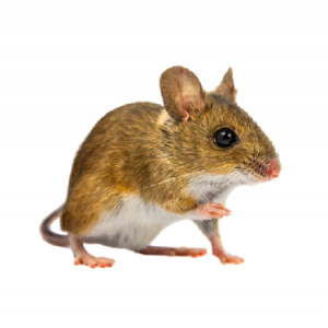 Field Mouse Control Pretoria are experts at Rat, Mouse and Rodent extermination. Pretoria Pest Control are ahead of our game.