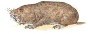 Mole Rats also fall under our Mole Control Pretoria team. Pretoria Pest Control are a cut above the rest.