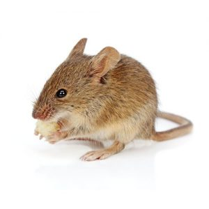 Dont let House Mice become a nuisance, call Pretoria Pest COntrol for a free quote.
