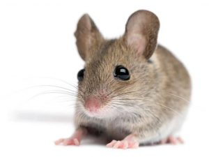 Field Mice are day time nuisanced here in Val de Grace. Call your local experts for a free and no obligation quote.