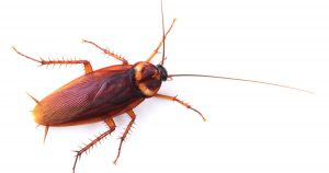 American Cockroach Control Zwavelpoort need not be a nightmare. Call the local roach fumigation speciealists for a free quote on Cockroach removal.
