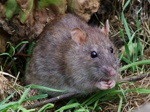 Brown Sewer Rat Control is an essential part of keeping your family safe and free fron dread and disease. Pretoria Pest Control are your local experts.