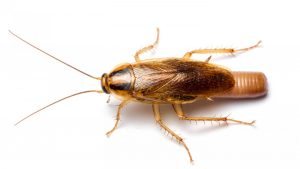 German Cockroach Control Zwavelpoort doesnt need to be hastle. Contact Pretoria Pest Control for a free and no obligation quote.