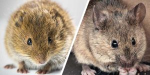 House Mouse and Field Mouse removal is effortless one the species has been identified. Pretoria Pest Control are the local Extermination experts you can count on.