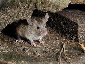 Mouse Control Pretoria can effectively carry out mouse removal without risking the wellbeing of your pets. A service only by Pretoria Pest Control