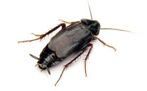 Oriental Cockroach Control Pretoria need not be a problem with the help from Pretoria Pest Control