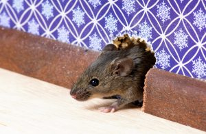 Rat Control Ashlea Gardens can successfully tackly any level of Rat or Mouse infestation here in Pretoria.