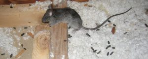 Rat fecal mater carried diseases and bacteria. Stop the spread of Rats in Ashlea Gardens right away.