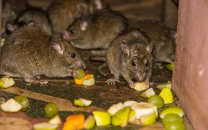 Dont let Rodent run a mock here in Ashlea Gardens, Call Pretoria Pest COntrol to secure your booking.
