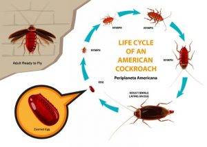 Understanding the life cycle of the pest your dealing with can determine the success or failure of a Fumigation. We know and understand the biology of all pests found here in Pretoria