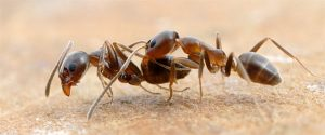 Argentine Ant Control Pretoria can be tricky with out the right knowledge of th especies. With Pretoria Pest Control at hand we can take care of any level of Ant Infestation.