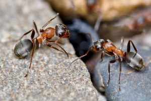 Garden Ant Control Pretoria teams are commonly called out to prevent the collaps of paving and grass lands.