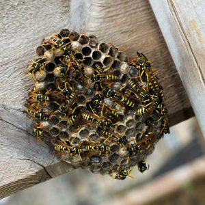 Invasive Wasp nest removal in Sunnyside by Pretoria Pest Control specialists